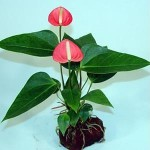 How to Pack and Ship Live Anthurium Plants