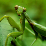 Ship a Live Praying Mantis