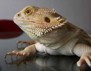 Ship a Bearded Dragon